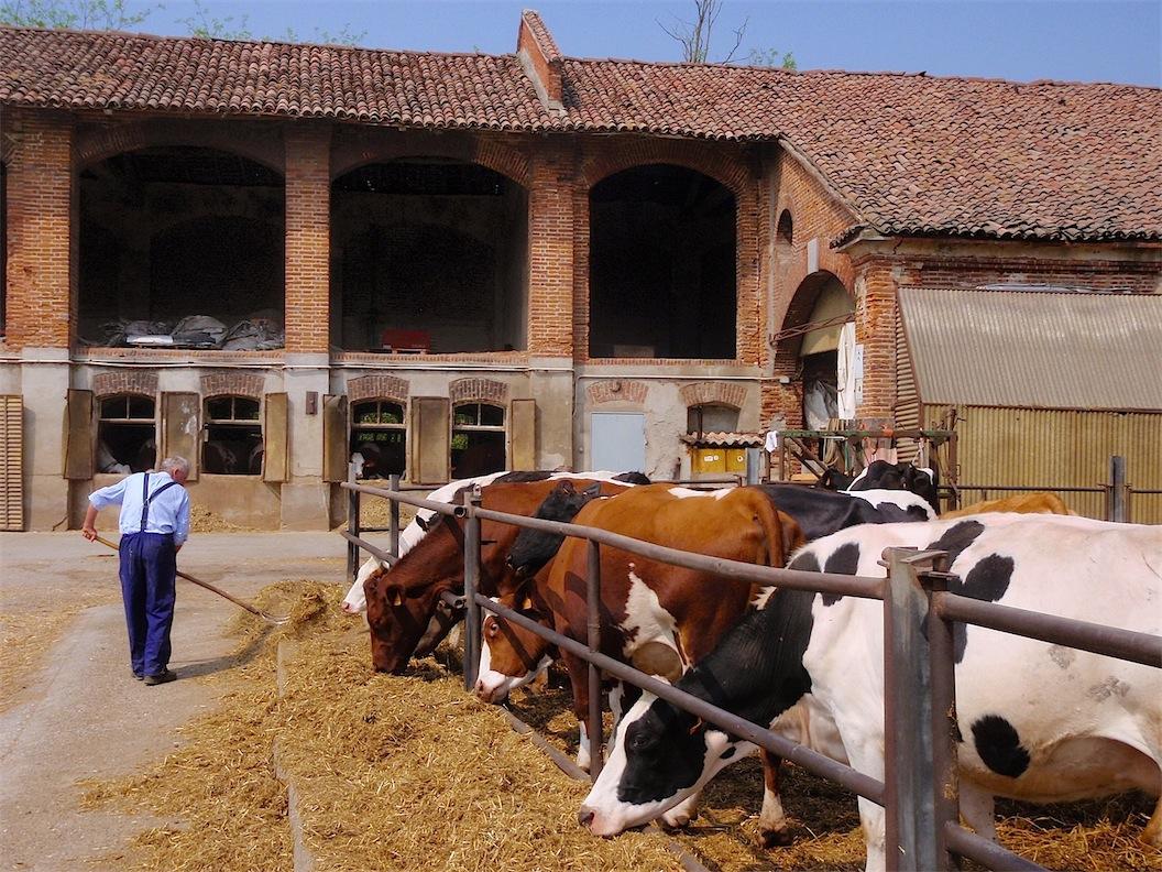 009_Luigino nutre le sue mucche